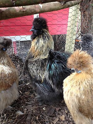 6 X Silkie Hatching eggs Bantam chickens good fertility mixed colours