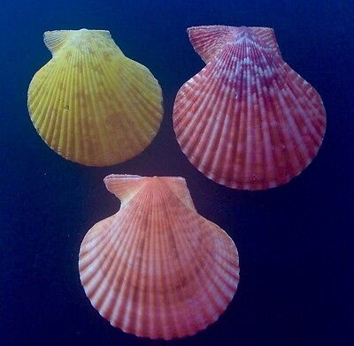 seashell SET OF 3 Mimachlamys sanguinea (6) NATURAL COLOR 65-78mm F+++