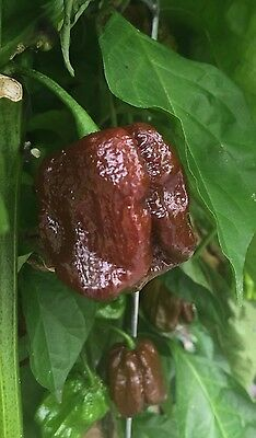 25+ 7 Pot Brown Chocolate Douglah Hot Pepper Seeds