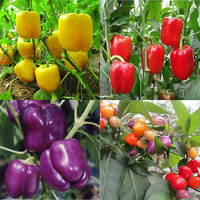 PEPPER - BELL - MIX -240pcs SEEDS Purple Yellow  Red Colorful Sweet Pepper