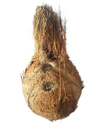 Real Yantra Wood Kalash One eye coconut is the most prized For Spiritual&Success