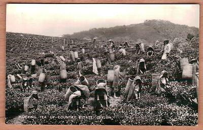 CEYLON SRI LANKA Tea Picking Workers Unused Real Photo Postcard