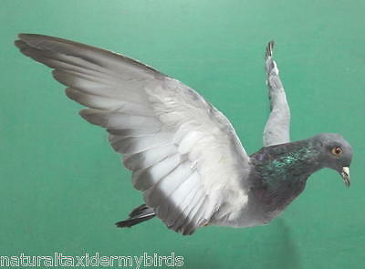 Flying Gray Rock Dove Pigeon Real Bird Taxidermy Bird Mount Barred Wing Pattern