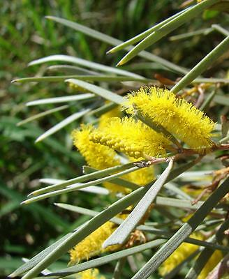 Mulga Wattle (Acacia aneura) 30 Fresh seeds