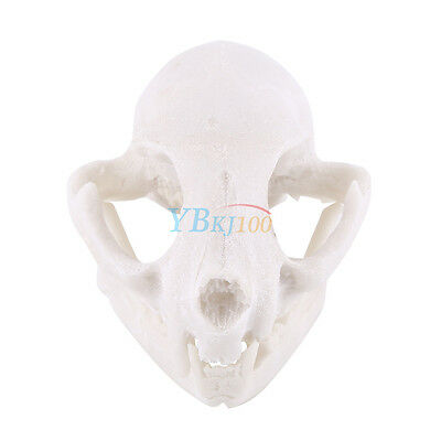 Realistic Cat Skull Replica Medical Teaching Skeleton Model Collectibles Durable