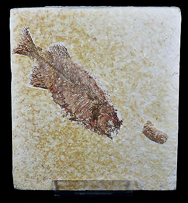 ** Rare Phareodus Encaustus Fossil Fish Green River Formation Wy 3.8In Long **
