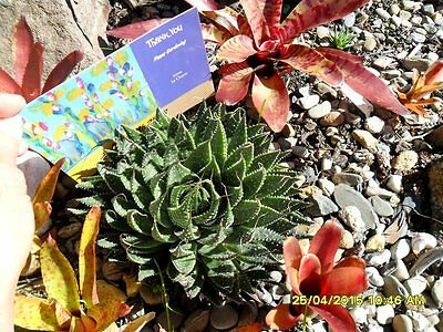 Garden Succulent Aloe aristata with Roots South African Native