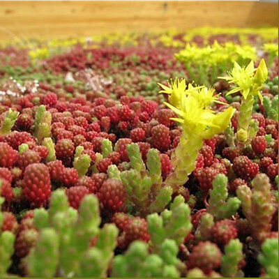 Green Roof Plants Seeds Mix - Sedum - Seeds for 3-4 m2 - Sunnyplants