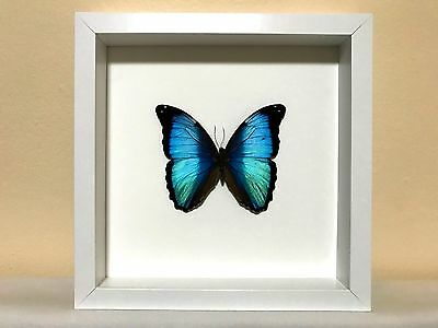 Real Morpho deidamia butterfly in framed display