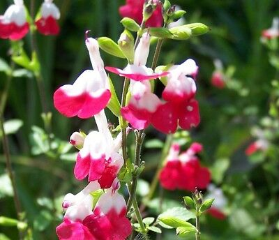 Salvia Hot Lips Perennial  potted plants