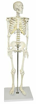 Life Size Human Anatomical Anatomy Skeleton Medical Model + Stand New