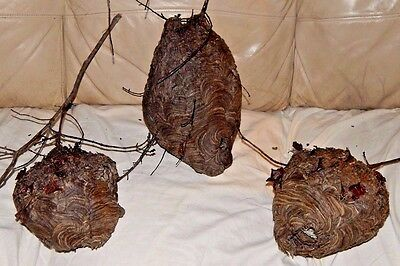 Hornet Wasp Nest/Bee Hive-Science Display-Man Cave/Hunting Lodge/Den Decor