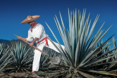 Agave Tequilana – Agave Blu / Tequila Agave, 10 Semi