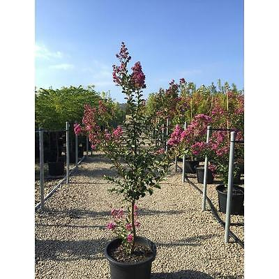 Lagestroemia indica 'Sioux' (Crepe Myrtle) 40cm pot - 1.6m height