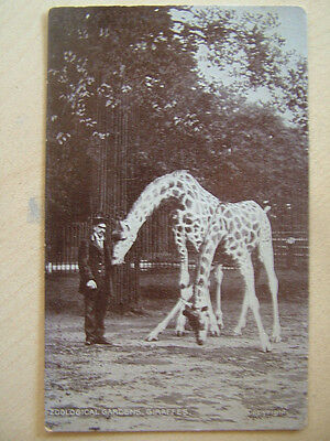 Very Old Postcard  ZOOLOGICAL GARDENS, GIRAFFES. Unused. Standard size.