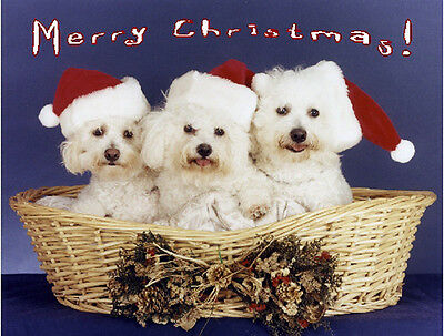 Pet Christmas Cards:Dog Bichon Frise Xmas Three