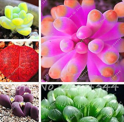 100 pcs Rare Sempervivum Mix Succulent Flower Seeds tropical ornamental plants