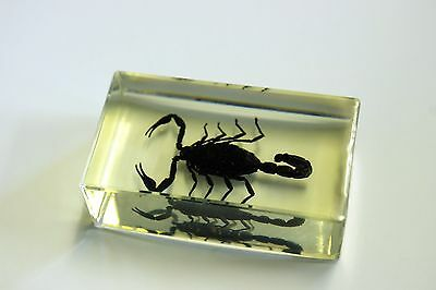 Real Insect paper weight, black Scorpion, real bug