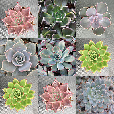 Echeveria Mix - 20 Seeds - Sunnyplants