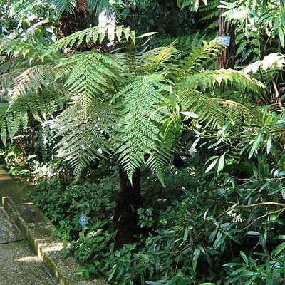 Dicksonia Fibrosa - 50 Seeds / Spores - New Zealand Tree Fern
