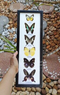 Real 6 Mix Butterfly Taxidermy Rare Frame Portrait Display Mounted Insect Decor