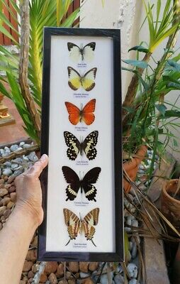 Real 6 Mix Butterfly Taxidermy Rare Frame Portrait Display Mounted Insect Gift 2