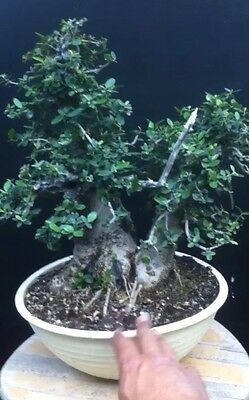 Quality Yamadori Olive Sylvestris Very Small Leafs Collected In Italy