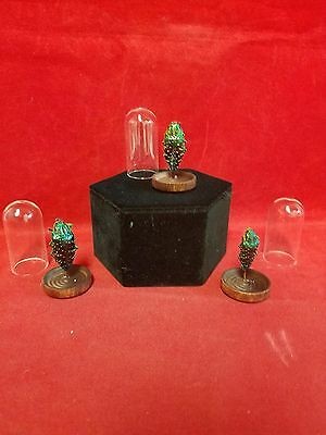 *For 1*Taxidermy Entomology Chrysobothris beetle Glass Dome Display-bug insect
