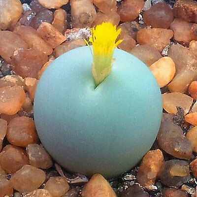 Conophytum calculus - Lithops - Living Rock - 10 Seeds - Sunnyplants