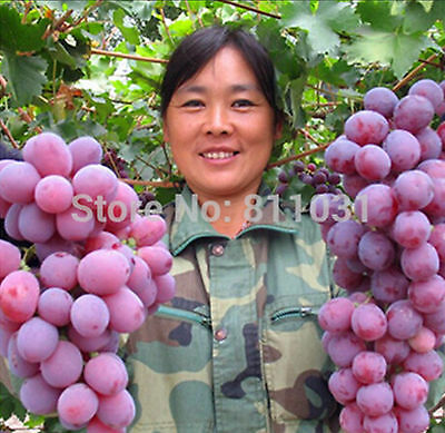 20 pcs Rare Species Grape Seeds Giant Red Grapes Bonsai Fruit Seeds