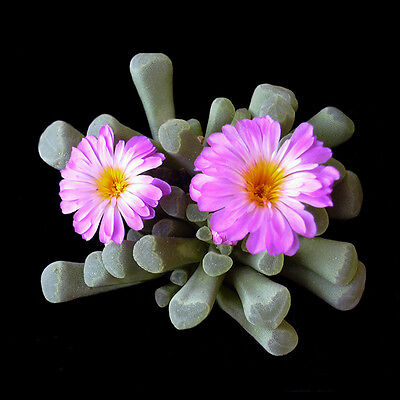 Frithia pulchra - Lithops - Living Rock - 20 Seeds - Sunnyplants