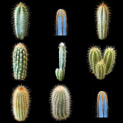 Pilosocereus Mixed Seeds - 20 Seeds - Sunnyplants