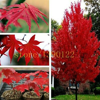 20 Pcs American Red Maple Tree Seeds Home GARDEN Planting Easy Grow Very Rare