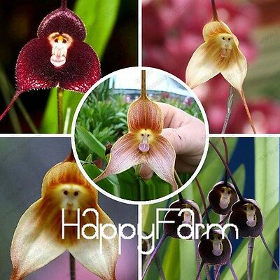 100PCS Rare Monkey Face Orchid Seeds Beautiful Plant Flower Home Garden Decor