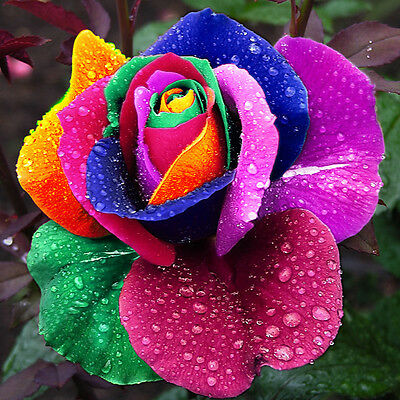 150 Pcs Rare Color Holland Rose Flower Seed Seeds Rainbow Home Garden Exotic