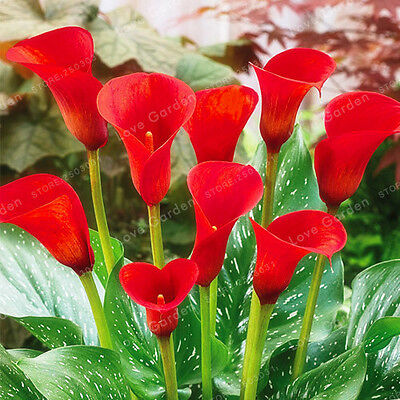 4 pcs True Red Calla Lily Bulbs (Not seeds)