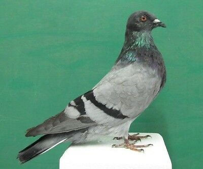 Barred Wings Gray Rock Dove Pigeon Real Bird Taxidermy Bird Mount