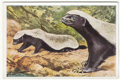 N°111 Ratel Mellivora Capensis Ratel du Cap Zorille Honey Badger  IMAGE CHROMO