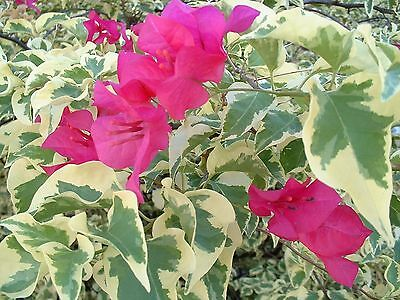Bougainvillea Tropical Rainbow