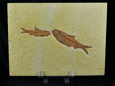 2 Two Knightia Eocaena Fossil Fish Green River Wy Eocene Age 3.6 Inches Long