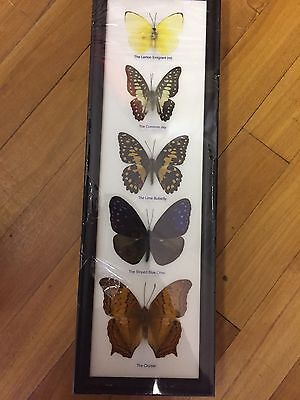Very Rare The 5 Butterfly Display Insect Taxidermy In Framed