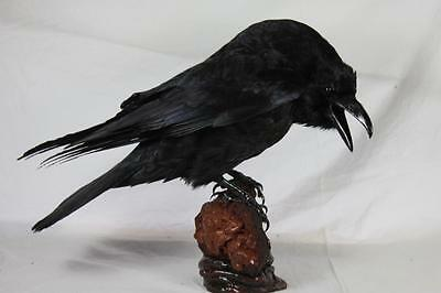 Raven. Arctic Taxidermy. Taxidermy Bird