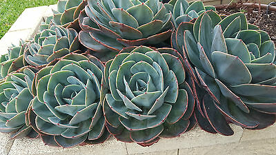 1 X Echeveria Succulent approx 20cms wide, pickup Epping 3076 OR sent barerooted