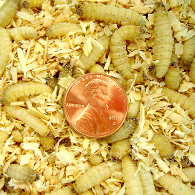Live Waxworms-from 25 to 250 Counts, by Gimminy Crickets & Worms