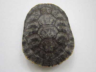 Red Slider Turtle Shell Whole 4 X 4 Taxidermy Crafts Education Decor 3