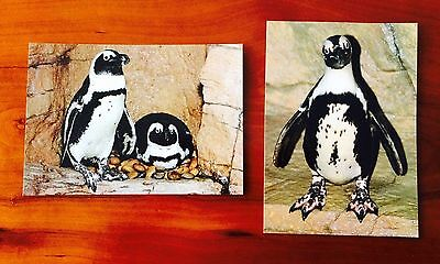 Postcards Blackfooted Penguin Monterey Bay Aquarium California - free shipping