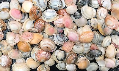 Craft Sea Shells Natural Small Shells 100+ Crafts Wedding Aquarium Home Supplies