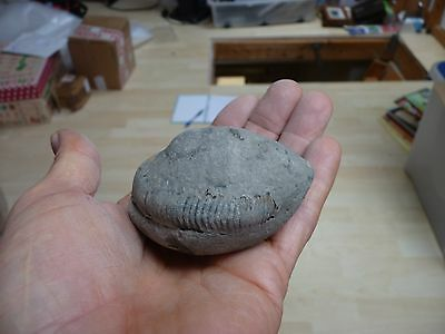 DACTYLIOCERAS  .whitby uk fossil ammonite. 70mm. full nodual.70mm ammonite