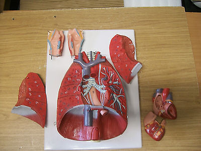 Thorax, lungs, heart anatomical model. 7 parts (like Somso, Adam Rouilly)