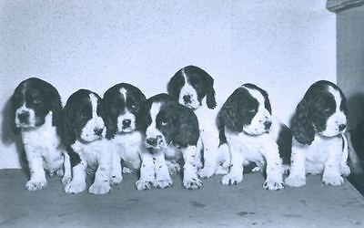 Vintage Agfa Postcard PC 7 Springer Spaniel Puppies  Belgium Dogs c1940